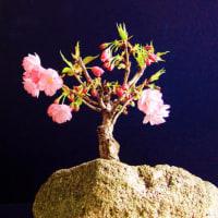 一歳桜「旭山」