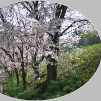 「心うきうき。やはり桜だね」