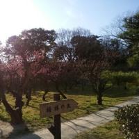 東海市大池公園の梅