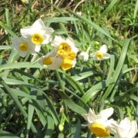 越前岬の水仙が咲いた