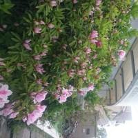 花よりうつくしきかな、新緑の桜
