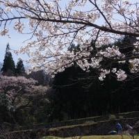 北広島町「刀匠正光屋敷跡のエドヒガン」 2017