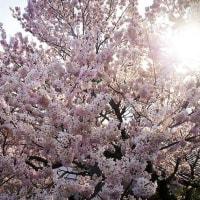 桜観音とお花見🌸