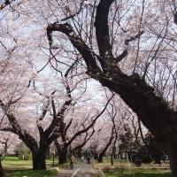 全生園の桜