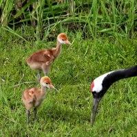 タンチョウ鶴の赤ちゃん