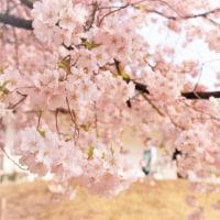 桜sakura.春うらら。