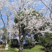寺家ふるさと村に桜を求め