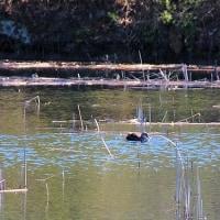 小山池のカモ
