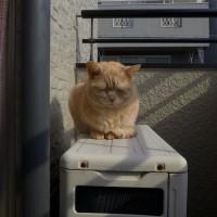 日向ぼっこの ネコ