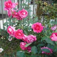 寒波の前の バラのうらら