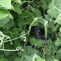 スナップエンドウが茂ってきました