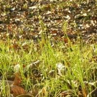 林縁にノビルの緑
