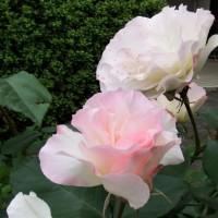 学習塾の淡いピンクのバラ