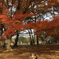 紅葉とドックランボール遊び