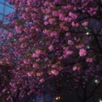関内桜通りの八重桜