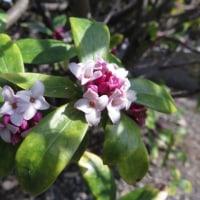 植物の漢字 沈丁花