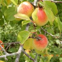 「恒例」越生町の森村農園さんで梅を買う