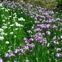 滝谷花しょうぶ園の花菖蒲  6月20日