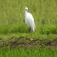 田んぼに三羽の白鷺