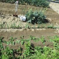 家庭菜園、初物のイチゴ