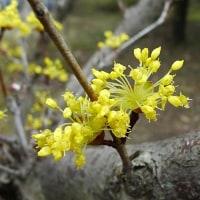 サンシュユ の花