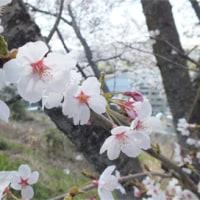 猫爺の才能なし俳句「満開の桜」