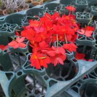 うお〜ソフロニティス・コクシネアのお花がいっぱい捨てられている〜。株に負担をかけないためですよね。