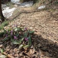 笹ヶ峰の奥、夢見平:カタクリが至る所に咲いています。