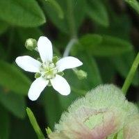 花弁に切り込みがなく直径1cm程度の地味な白花 オオヤマフスマ