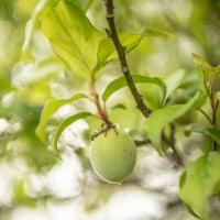 今年は梅の果実が順調に大きくなっています☆