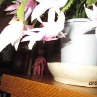 デンマークカクタスが咲きました (大晦日)