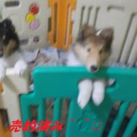 コリー犬の子犬^^♬