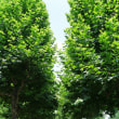 新宿御苑のプラタナス並木