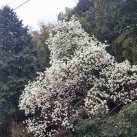 七面山の啓翁桜と木蓮