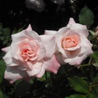 気持ち良さそうに咲いてます バラのマチルダ