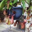 【京都府立植物園】第26回食虫植物展に行ってきました(2017年7月23日)
