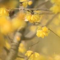 大和民族公園の蝋梅