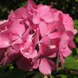 ★山麓のお寺に咲く7月の紫陽花 2017