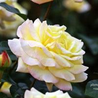 ピース  名花中の名花