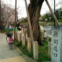 出町柳の桜
