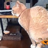 うんこドリルが流行ってますが、うんこしてる猫を盗撮してやった【猫日記こむぎ&だいず】2017.05.26