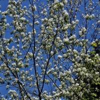 ハイノキの花が咲いた