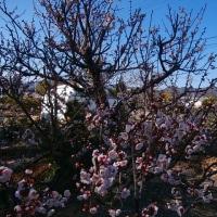 ☆梅の花咲き (17-220)