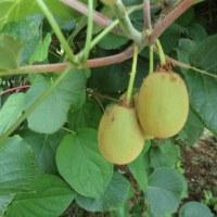 2017.6.18   西瓜収穫