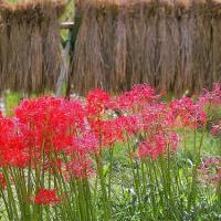 赤い花なら曼珠沙華