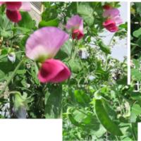 「サヤインゲン」の花