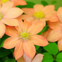 オレンジ色のクレマチス