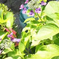 トラバドールの組み合わせの紫陽花。