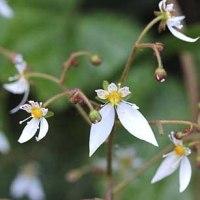 草陰でひっそりとユキノシタの花!