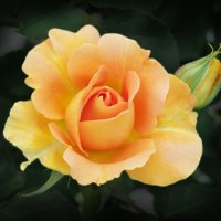 華麗な薔薇たち Ⅳ